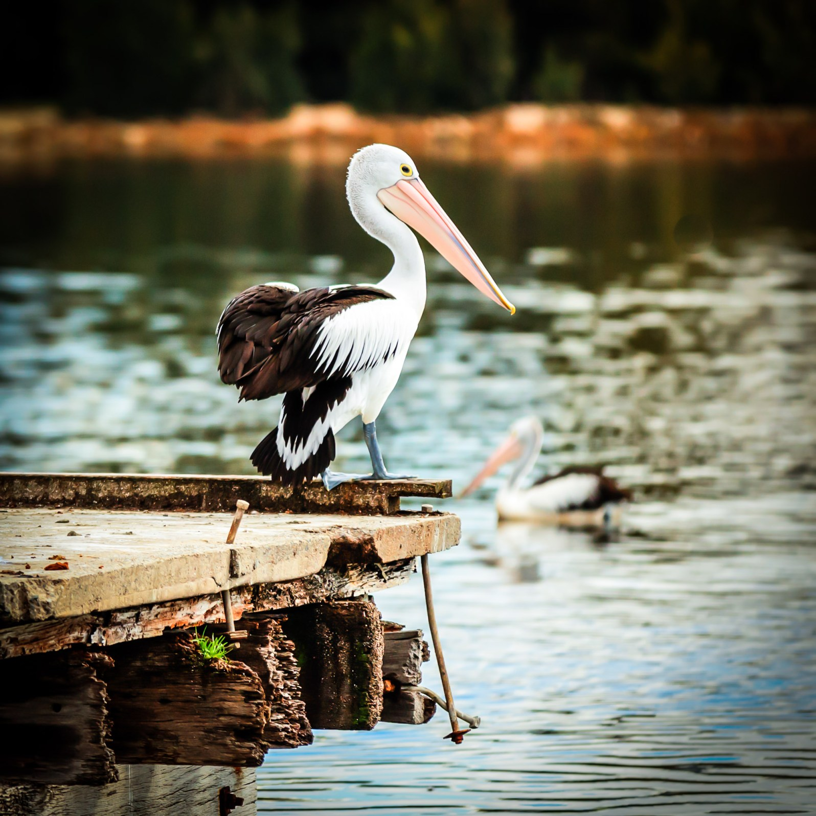 An Australian Pelican on Perth's Swan River in Western Australia.